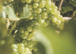 Sauvignon blanc – the savage facts